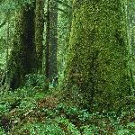 Old Growth Forest around Tofino