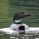 Loon on Big Moose Lake