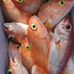 Yellow-eye Snapper