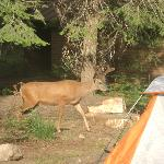 Young buck by our tent