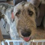 Chops - the Irish Wolfhound