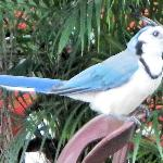 A white-throated magpie-jay that stole sugar packets from the breakfast table.