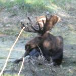 moose in grand teton
