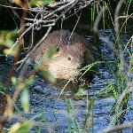 Beaver at the Beaver Boardwalk in Hinton, Alberta
