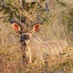 A nice Kudu sighting.