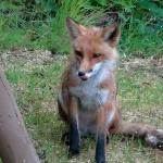 little fox on hotel grounds