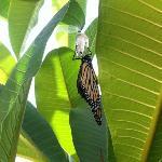 butterfly emerging from caterpillar - taken in the garden
