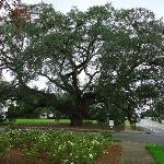 Thomasville's Historic Big Oak