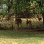 Doe and Fawns, July 2012