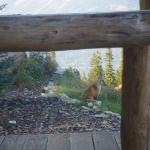 A fox, hanging out nearby while I was in the hot tub.  Cute - but people - Don't Feed the Animal