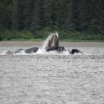 Upward lunge feeding of humpback whales after creating a bubble net
