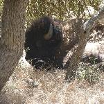 Wild buffalo, just hanging out