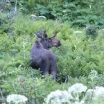 Moose outside our door