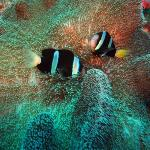 clown fish in sea anemone