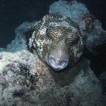 Sleeping puffer fish on night dive at dock