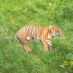 flatout tiger