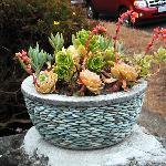 Flowering succulents in a lovely pebble pot in the Mendocino Arts Center garden in July 2012.