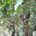 Monkeys In Our Tree Above The Pool