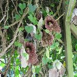 Aristolochia - a flower that actually smell like decomposition