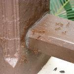fourmis rouges sur la terrasse