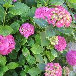 Détail des magnifiques hortensias