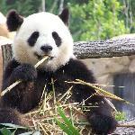Huan Huan (Panda Femelle)