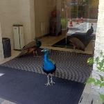 there are three resident peacocks that live on the grounds. they are friendly.