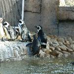 Penguins line up for feeding.