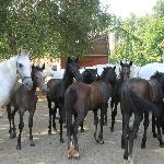 Mares and foals at the Piber Stud Farm