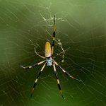 Golden Silk Orb Weavers (seriously, ther are all over the park!they are also HARMLESS)