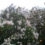 lauriers fleuris du jardin