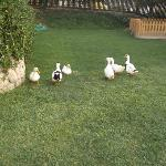 The ducks from the apartments