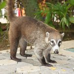 Coati near Hacienda's