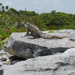 Iguana just south of hotel