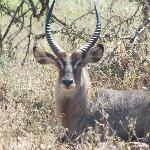 Water Buck just behind the lodge water tank