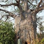 Poacher's Hide, another huge baobab