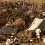 Camel Fair Scenes - Pushkar