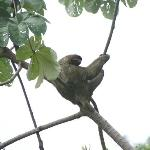 A sloth in the trees nearby