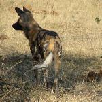 One Wild Dog from a Large Pack Sleeping Nearby