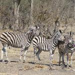 Zebra Herd + 12 more unpictured