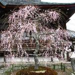 Weeping cherry tree in front of the main hall