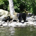 Black bear at Wolverine Creek