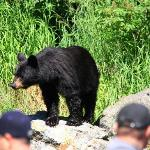 Bear at Wolverine Creek