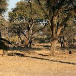 Elephants eating acacia pods near our tent