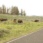View of bison from window