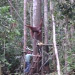 อูรังอูตัง ที่ ศูนย์อนุรักษ์พันธ์สัตว์ป่า เซมงโกะห์ กูชิง ซาราวัค มาเลเซีย