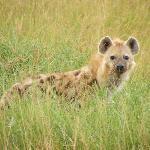 Hyena on Masai Mara