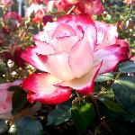 Rose Garden in Glen Miller Park