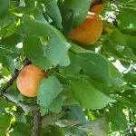 Albicocche nel giardino
