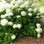 White hydrangeas beneath the tree canopy.